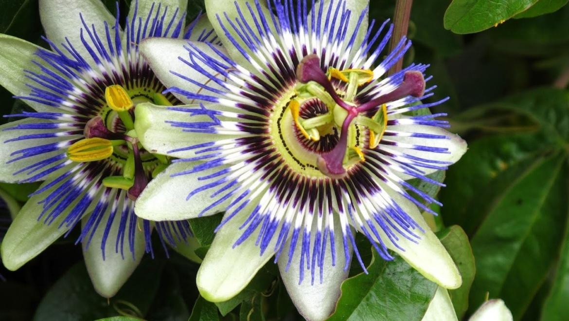 La Passiflora e le sue mille proprietà benefiche