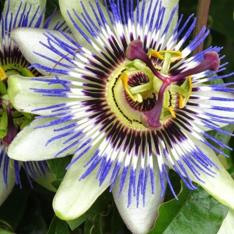 La Passiflora e le sue mille proprietà benefiche